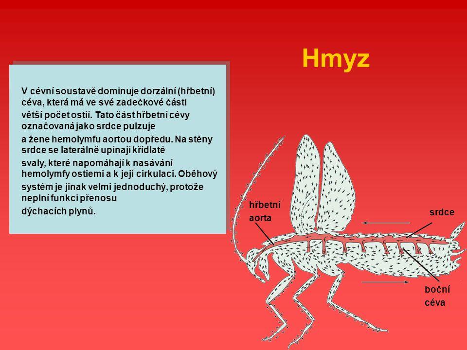 Hmyz V cévní soustavě dominuje dorzální (hřbetní) céva, která má ve své zadečkové části větší počet ostií. Tato část hřbetní cévy označovaná jako srdc