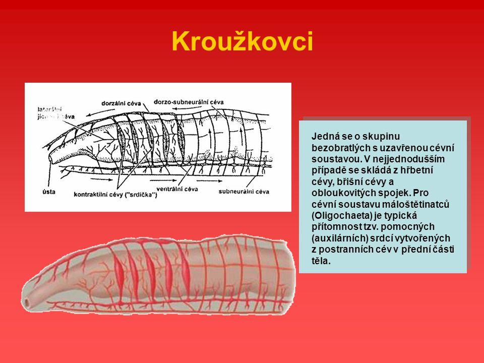 Kroužkovci Jedná se o skupinu bezobratlých s uzavřenou cévní soustavou. V nejjednodušším případě se skládá z hřbetní cévy, břišní cévy a obloukovitých
