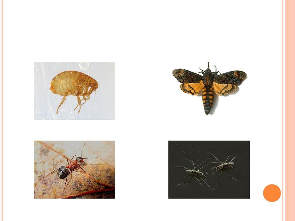 Ř EŠENÍ : vážka ploská – vážky veš dětská – vši saranče obecné – rovnokřídlí ploštice střevlík kožitý – brouci tesařík krovový – brouci vosa obecná – blanokřídlí moucha domácí – dvoukřídlí včela medonosná – blanokřídlí potápník vroubený - brouci