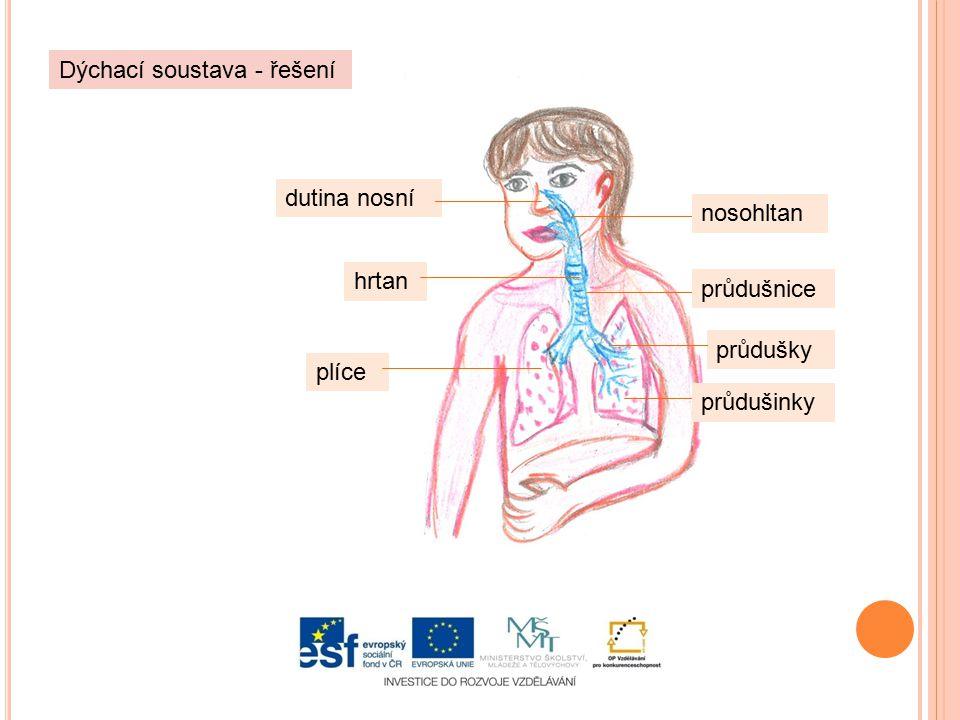 dutina nosní hrtan plíce průdušky Dýchací soustava - řešení nosohltan průdušnice průdušinky