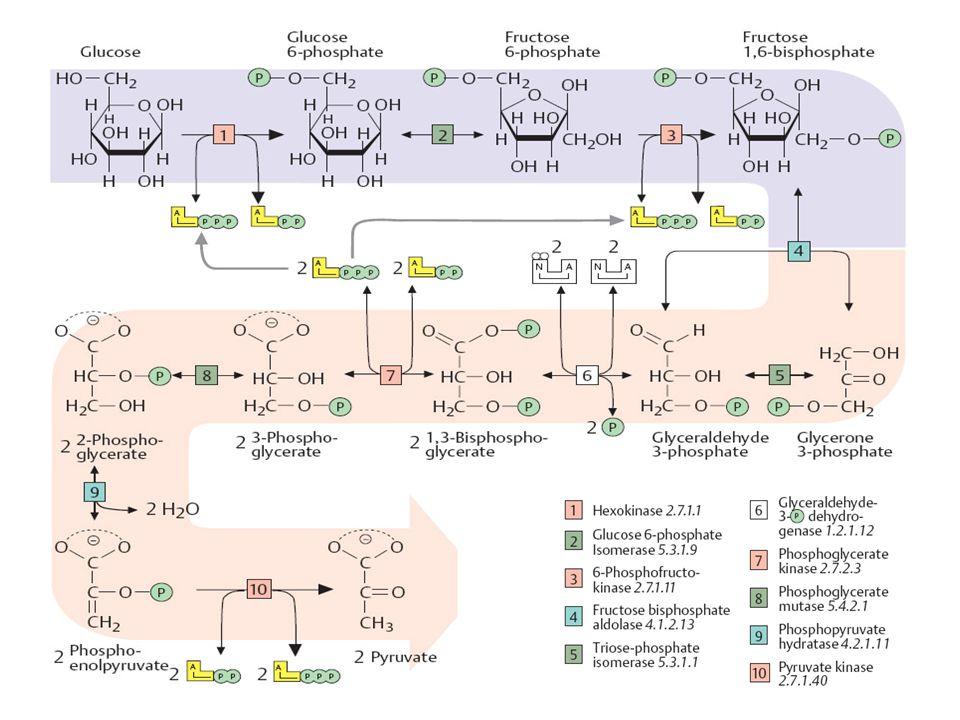 Glykolýza II souhrnná reakce: glukosa + 2NAD + + 2ADP + 2H 3 PO 4 → 2 pyruvát + 2NADH(H + ) + 2ATP energetický zisk na 1 mol glukosy 2 moly ATP – anaerobně 36 – 38 molů ATP aerobně napojením na dýchací řetězec –přenos NADH(H + ) do mitochondrie: člunek malátaspartátový – 3 ATP / NADH(H + ) člunek glycerolfosfátový - 2 ATP / NADH(H + ) energetický zisk z anaerobní glykolýzy je malý → laktát je bohatá sloučenina velmi rychlý zisk energie