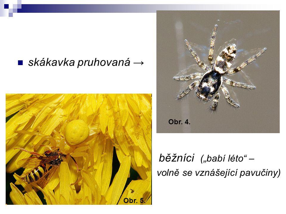 """skákavka pruhovaná → běžníci (""""babí léto"""" – volně se vznášející pavučiny) Obr. 4. Obr. 5."""