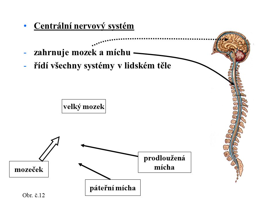 Centrální nervový systém -zahrnuje mozek a míchu -řídí všechny systémy v lidském těle velký mozek mozeček prodloužená mícha páteřní mícha Obr. č.12