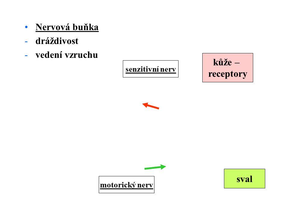 Nervová buňka -dráždivost -vedení vzruchu kůže – receptory senzitivní nerv motorický nerv sval