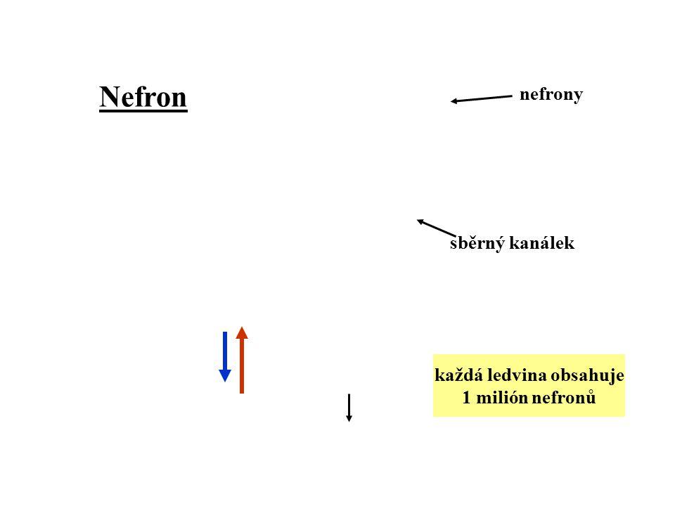 nefrony sběrný kanálek Nefron každá ledvina obsahuje 1 milión nefronů