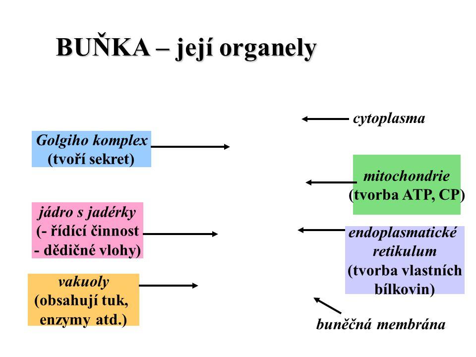 BUŇKA – její organely jádro s jadérky (- řídící činnost - dědičné vlohy) mitochondrie (tvorba ATP, CP) endoplasmatické retikulum (tvorba vlastních bílkovin) Golgiho komplex (tvoří sekret) vakuoly (obsahují tuk, enzymy atd.) cytoplasma buněčná membrána