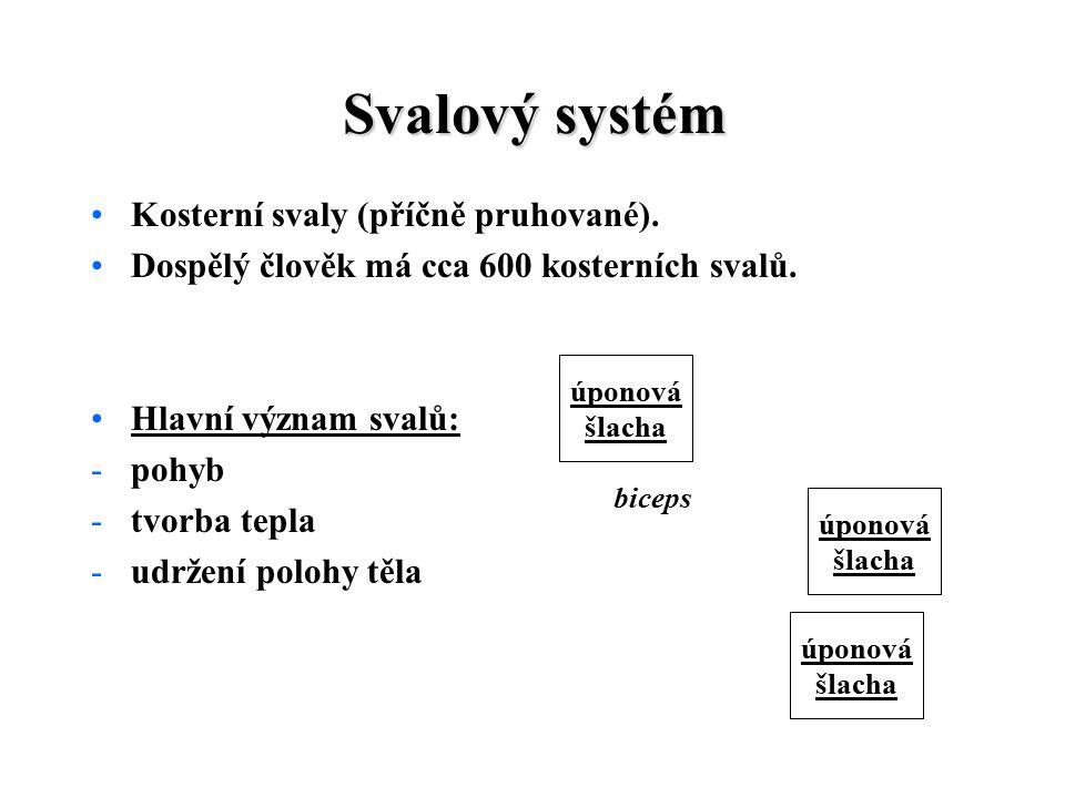 Svalový systém Kosterní svaly (příčně pruhované).Dospělý člověk má cca 600 kosterních svalů.