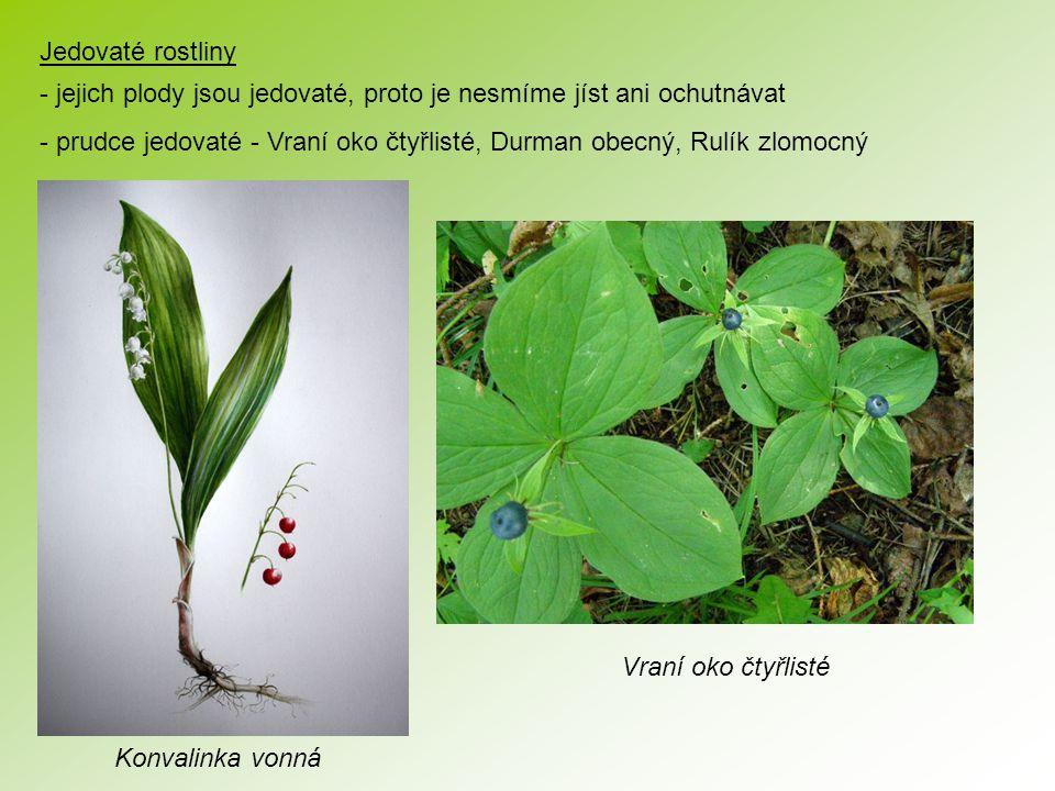 Jedovaté rostliny - jejich plody jsou jedovaté, proto je nesmíme jíst ani ochutnávat - prudce jedovaté - Vraní oko čtyřlisté, Durman obecný, Rulík zlomocný Konvalinka vonná Vraní oko čtyřlisté