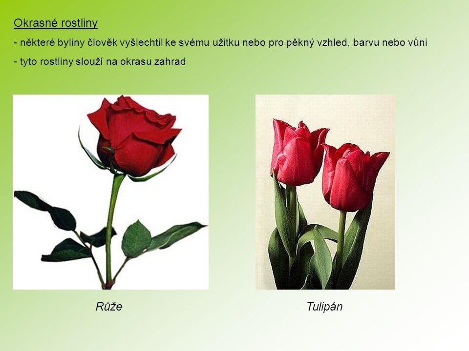 Okrasné rostliny - některé byliny člověk vyšlechtil ke svému užitku nebo pro pěkný vzhled, barvu nebo vůni - tyto rostliny slouží na okrasu zahrad RůžeTulipán