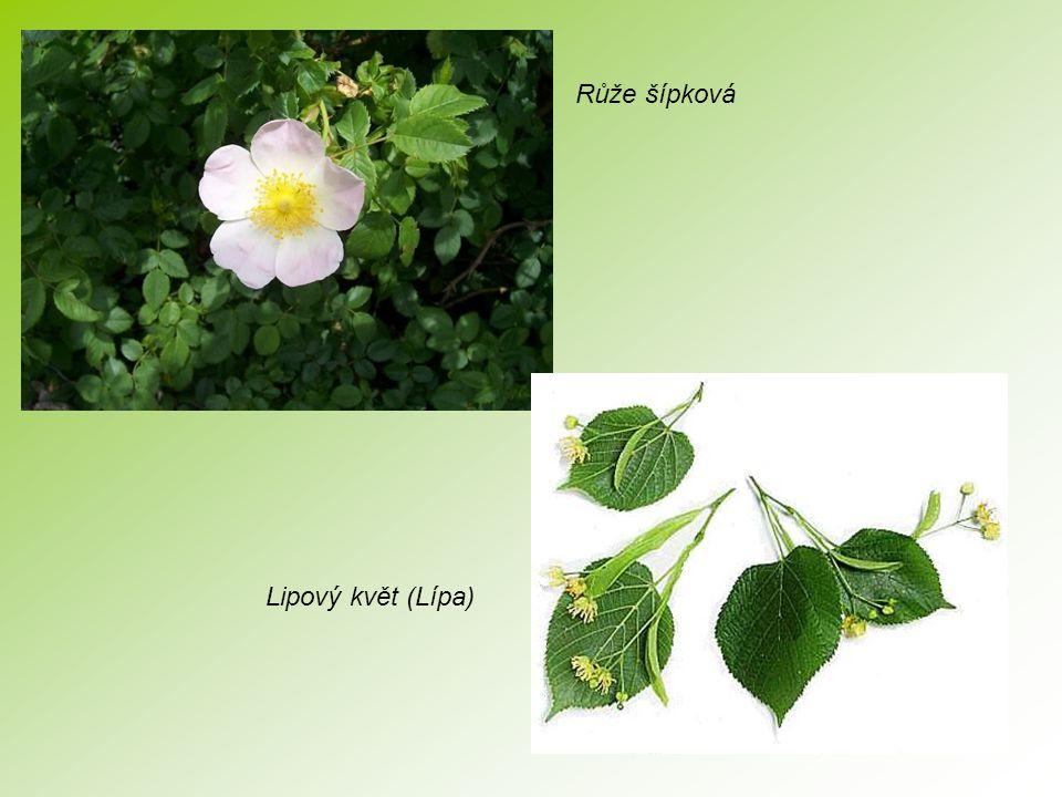 Růže šípková Lipový květ (Lípa)