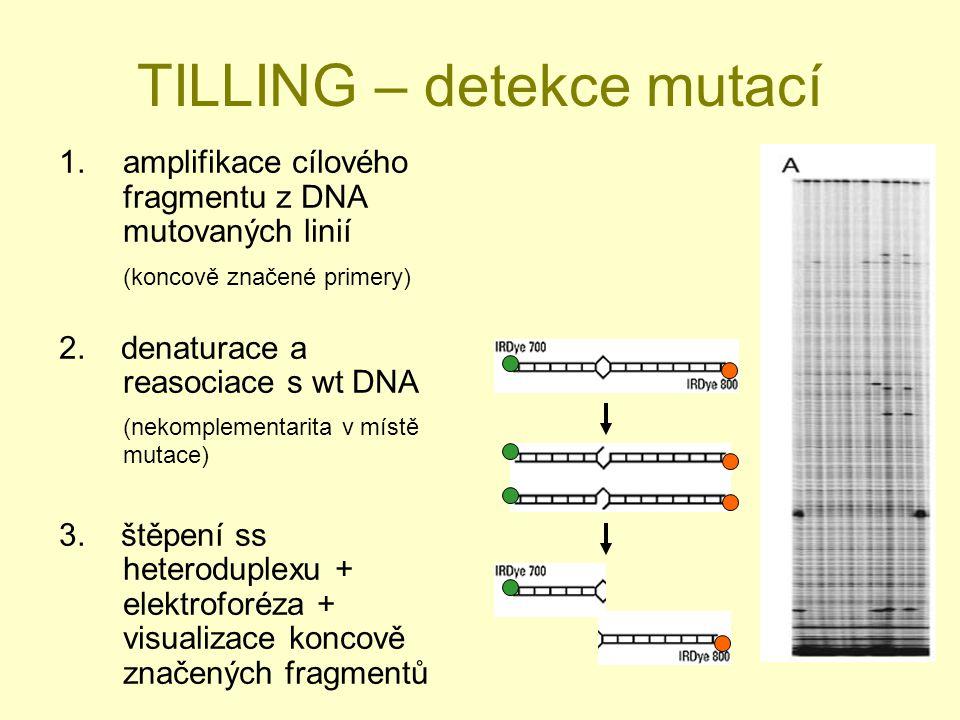 TILLING – detekce mutací 1.amplifikace cílového fragmentu z DNA mutovaných linií (koncově značené primery) 2.