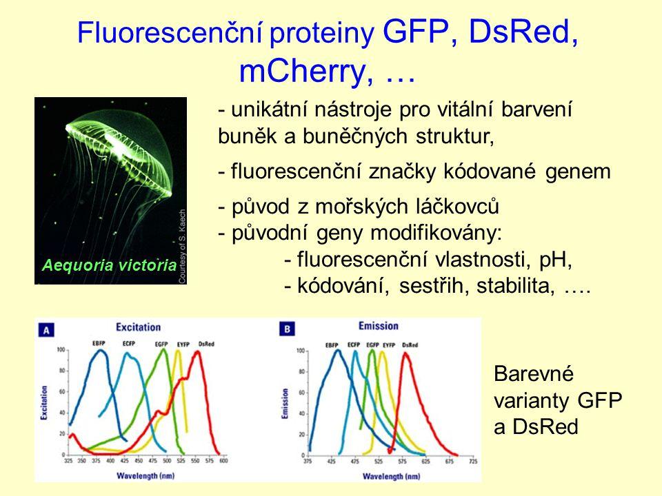 Fluorescenční proteiny GFP, DsRed, mCherry, … Aequoria victoria Barevné varianty GFP a DsRed - unikátní nástroje pro vitální barvení buněk a buněčných struktur, - fluorescenční značky kódované genem - původ z mořských láčkovců - původní geny modifikovány: - fluorescenční vlastnosti, pH, - kódování, sestřih, stabilita, ….