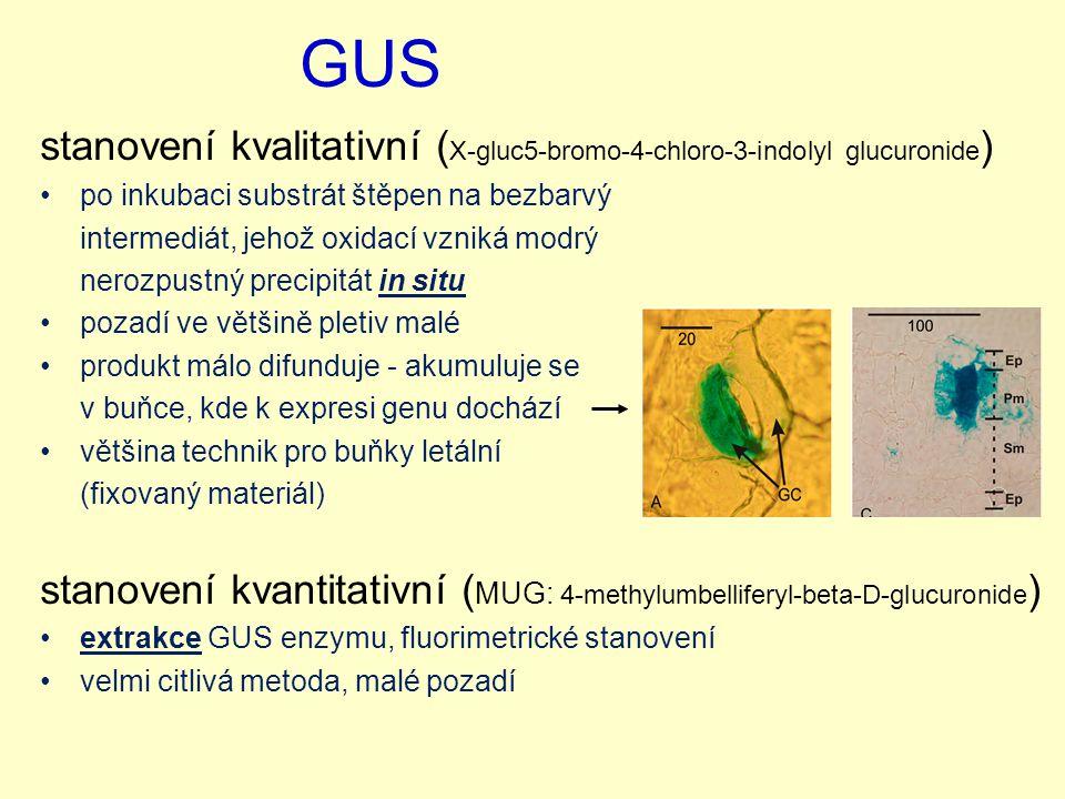 GUS stanovení kvalitativní ( X-gluc5-bromo-4-chloro-3-indolyl glucuronide ) po inkubaci substrát štěpen na bezbarvý intermediát, jehož oxidací vzniká modrý nerozpustný precipitát in situ pozadí ve většině pletiv malé produkt málo difunduje - akumuluje se v buňce, kde k expresi genu dochází většina technik pro buňky letální (fixovaný materiál) stanovení kvantitativní ( MUG: 4-methylumbelliferyl-beta-D-glucuronide ) extrakce GUS enzymu, fluorimetrické stanovení velmi citlivá metoda, malé pozadí