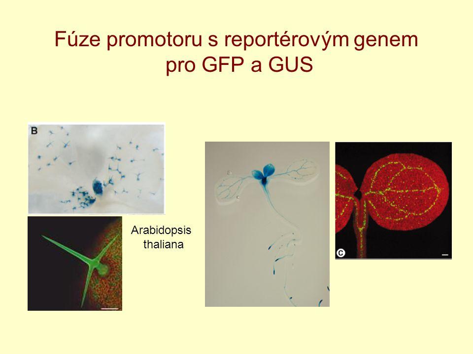 Fúze promotoru s reportérovým genem pro GFP a GUS Arabidopsis thaliana