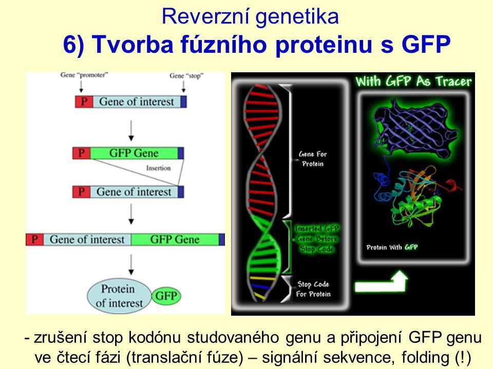 Reverzní genetika 6) Tvorba fúzního proteinu s GFP - zrušení stop kodónu studovaného genu a připojení GFP genu ve čtecí fázi (translační fúze) – signální sekvence, folding (!)