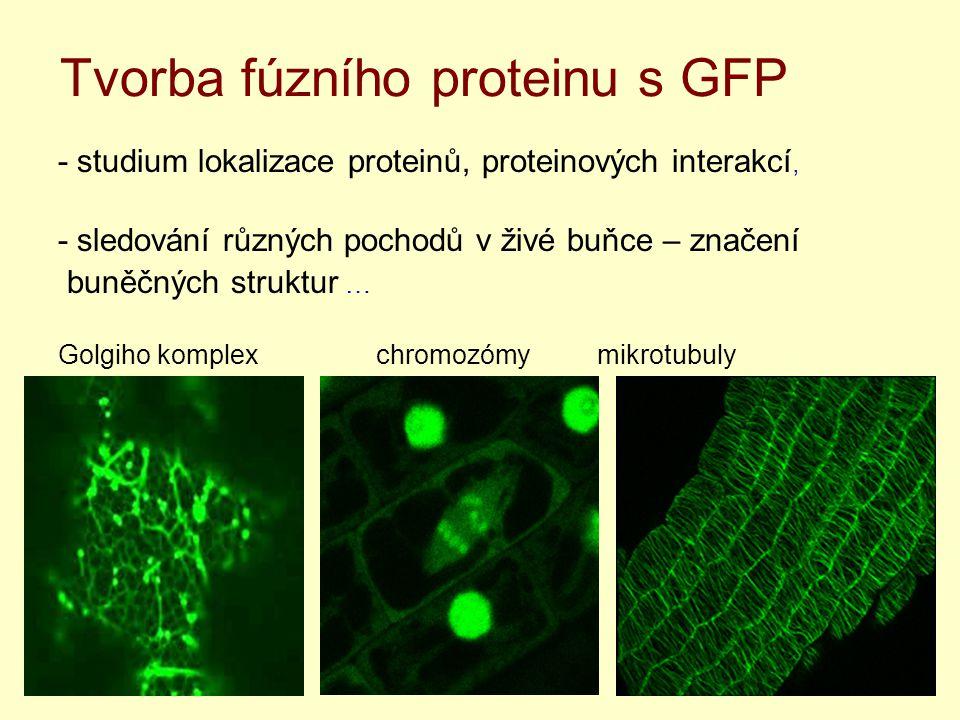 Tvorba fúzního proteinu s GFP - studium lokalizace proteinů, proteinových interakcí, - sledování různých pochodů v živé buňce – značení buněčných struktur … Golgiho komplex chromozómy mikrotubuly