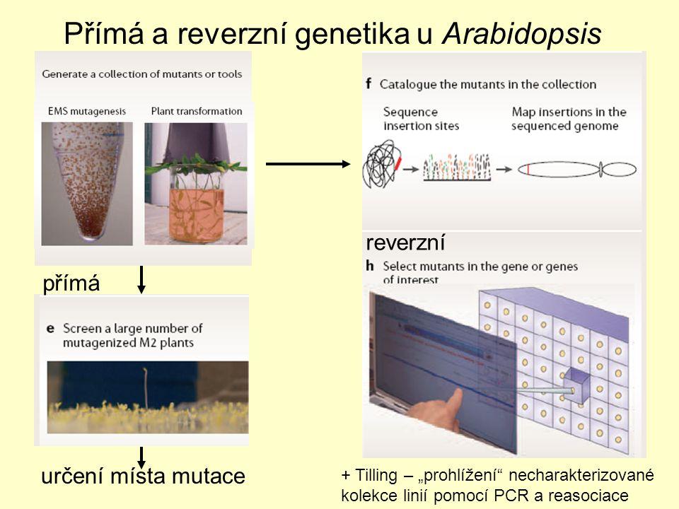 """Přímá a reverzní genetika u Arabidopsis určení místa mutace + Tilling – """"prohlížení necharakterizované kolekce linií pomocí PCR a reasociace reverzní přímá"""
