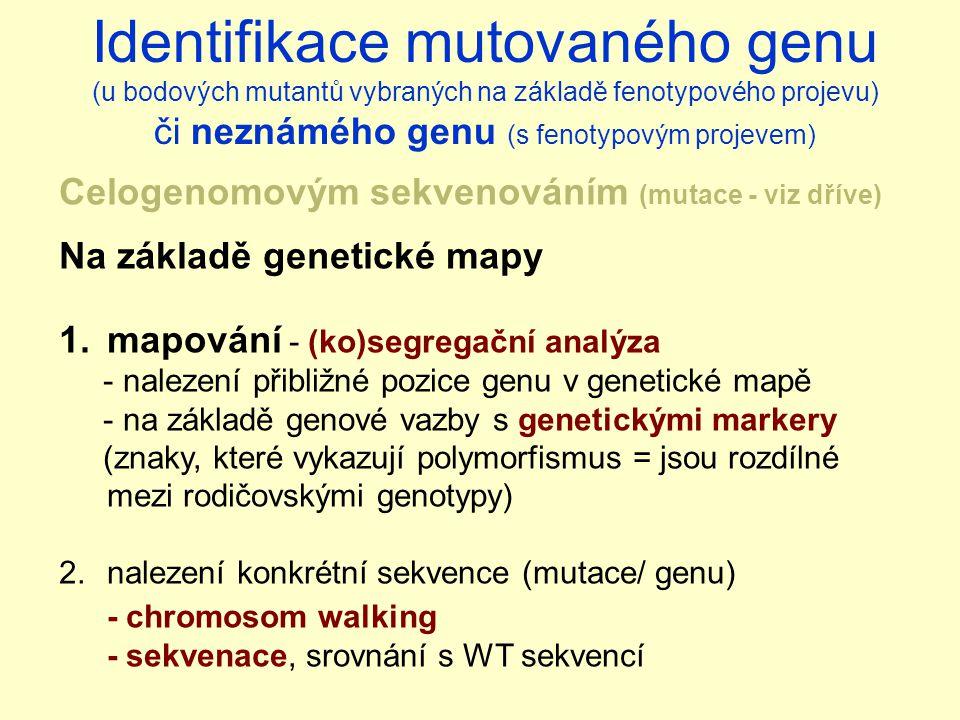 Celogenomovým sekvenováním (mutace - viz dříve) Na základě genetické mapy 1.mapování - (ko)segregační analýza - nalezení přibližné pozice genu v genetické mapě - na základě genové vazby s genetickými markery (znaky, které vykazují polymorfismus = jsou rozdílné mezi rodičovskými genotypy) 2.