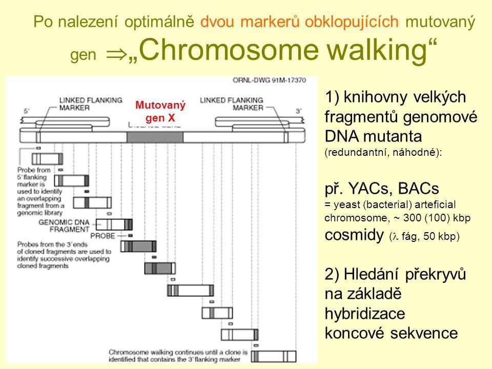 """Po nalezení optimálně dvou markerů obklopujících mutovaný gen  """"Chromosome walking Mutovaný gen X 1) knihovny velkých fragmentů genomové DNA mutanta (redundantní, náhodné): př."""