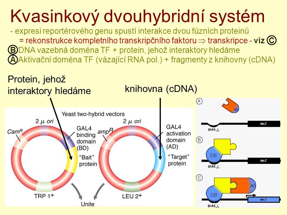 Kvasinkový dvouhybridní systém - expresi reportérového genu spustí interakce dvou fúzních proteinů = rekonstrukce kompletního transkripčního faktoru  transkripce - viz C B DNA vazebná doména TF + protein, jehož interaktory hledáme A Aktivační doména TF (vázající RNA pol.) + fragmenty z knihovny (cDNA) knihovna (cDNA) Protein, jehož interaktory hledáme