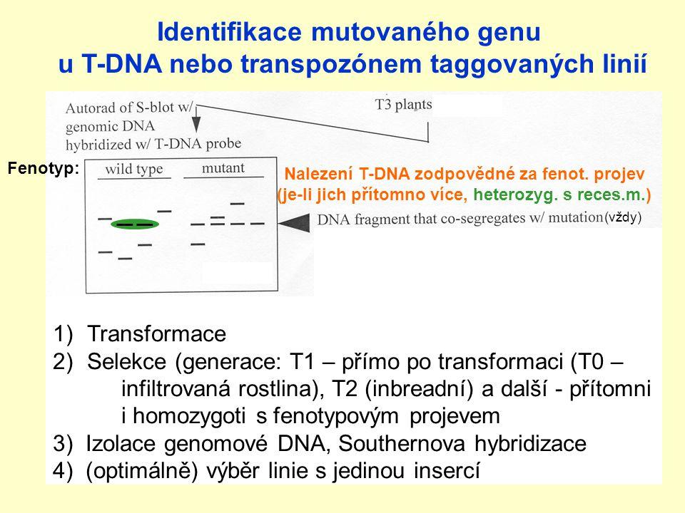 Identifikace mutovaného genu u T-DNA nebo transpozónem taggovaných linií Nalezení T-DNA zodpovědné za fenot.