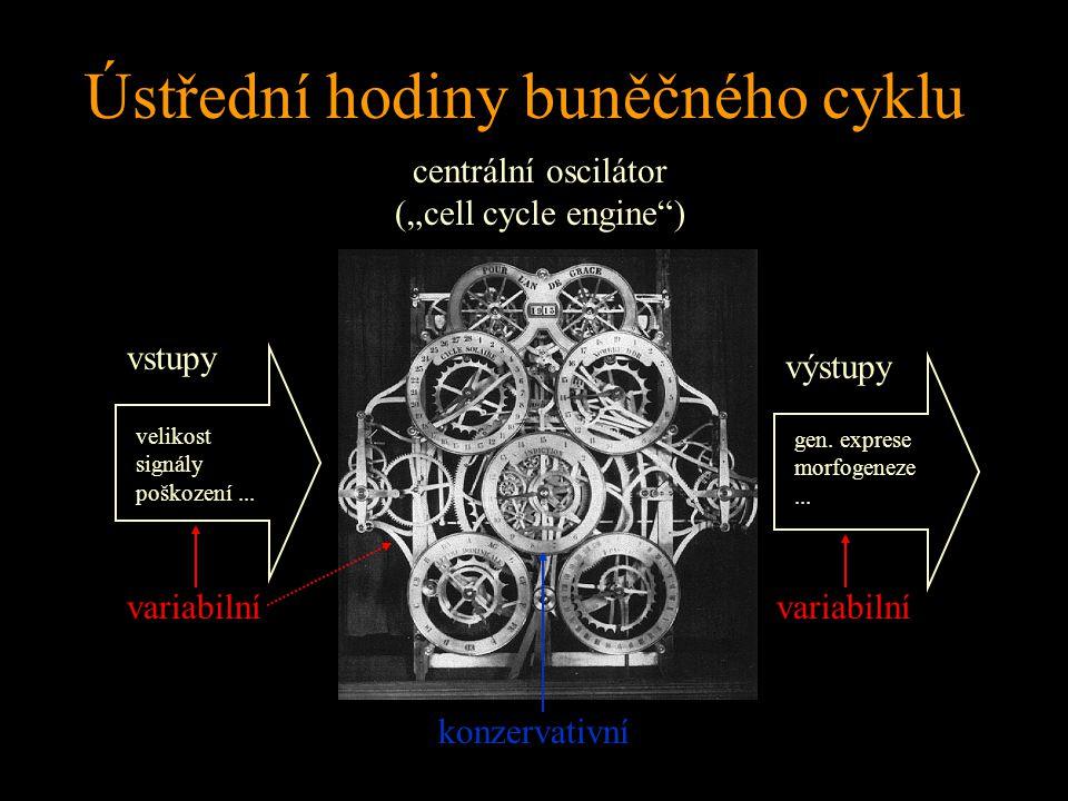 """Ústřední hodiny buněčného cyklu vstupy výstupy centrální oscilátor (""""cell cycle engine"""") velikost signály poškození... gen. exprese morfogeneze... kon"""