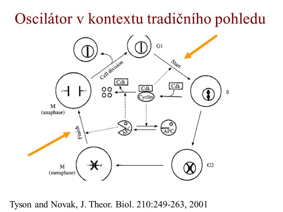 Oscilátor v kontextu tradičního pohledu Tyson and Novak, J. Theor. Biol. 210:249-263, 2001