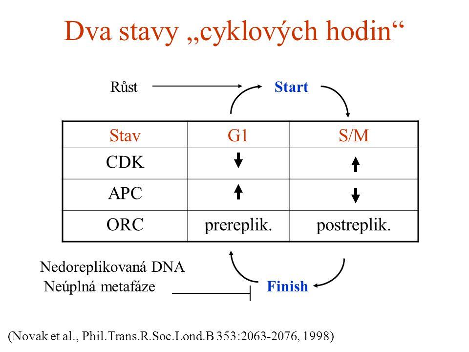 "Dva stavy ""cyklových hodin"" StavG1S/M CDK APC ORCprereplik.postreplik. Start Finish (Novak et al., Phil.Trans.R.Soc.Lond.B 353:2063-2076, 1998) Růst N"