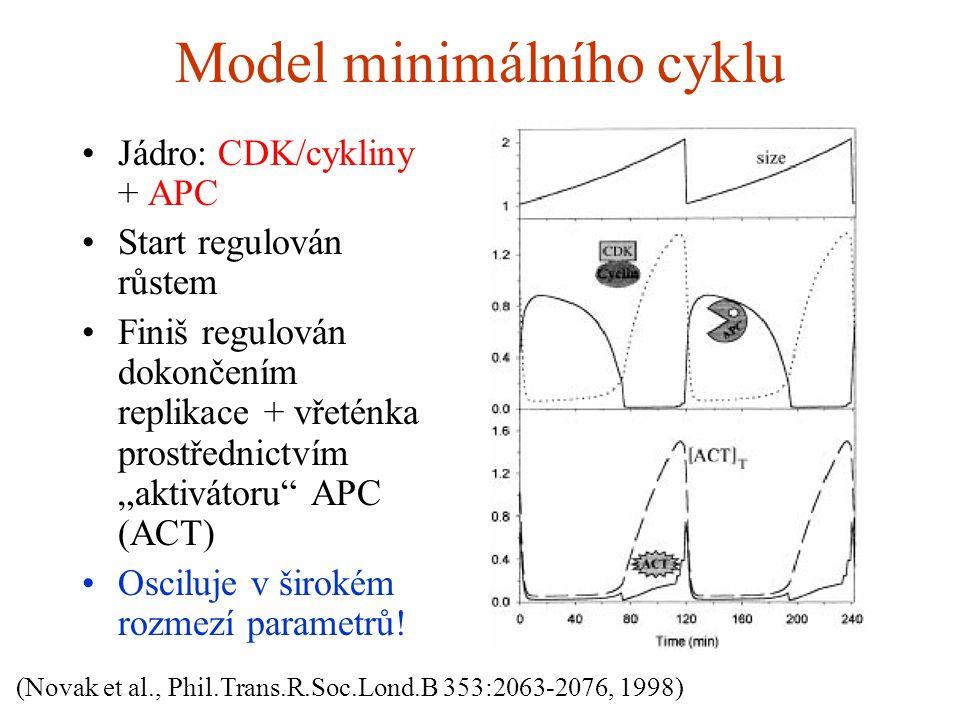 """Model minimálního cyklu Jádro: CDK/cykliny + APC Start regulován růstem Finiš regulován dokončením replikace + vřeténka prostřednictvím """"aktivátoru APC (ACT) Osciluje v širokém rozmezí parametrů."""