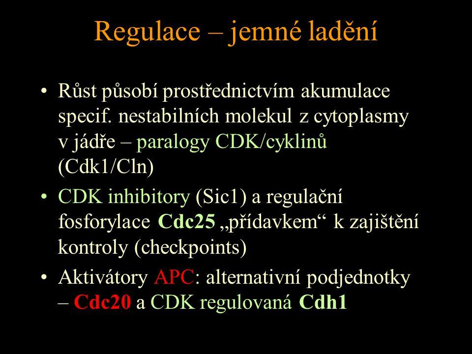 Regulace – jemné ladění Růst působí prostřednictvím akumulace specif. nestabilních molekul z cytoplasmy v jádře – paralogy CDK/cyklinů (Cdk1/Cln) CDK