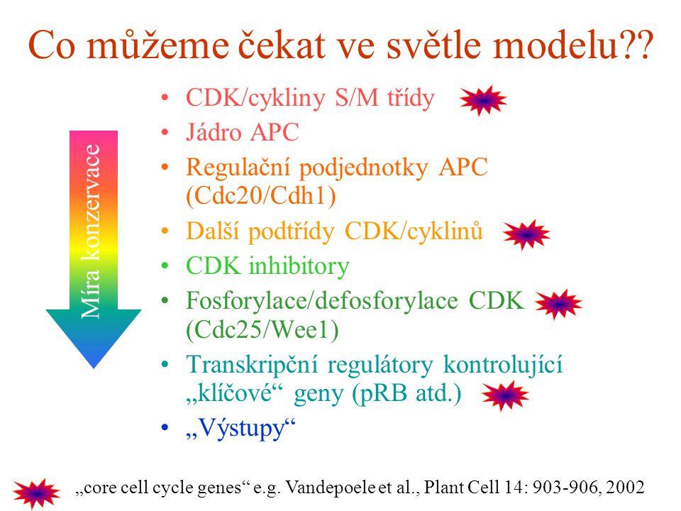 Co můžeme čekat ve světle modelu?? CDK/cykliny S/M třídy Jádro APC Regulační podjednotky APC (Cdc20/Cdh1) Další podtřídy CDK/cyklinů CDK inhibitory Fo