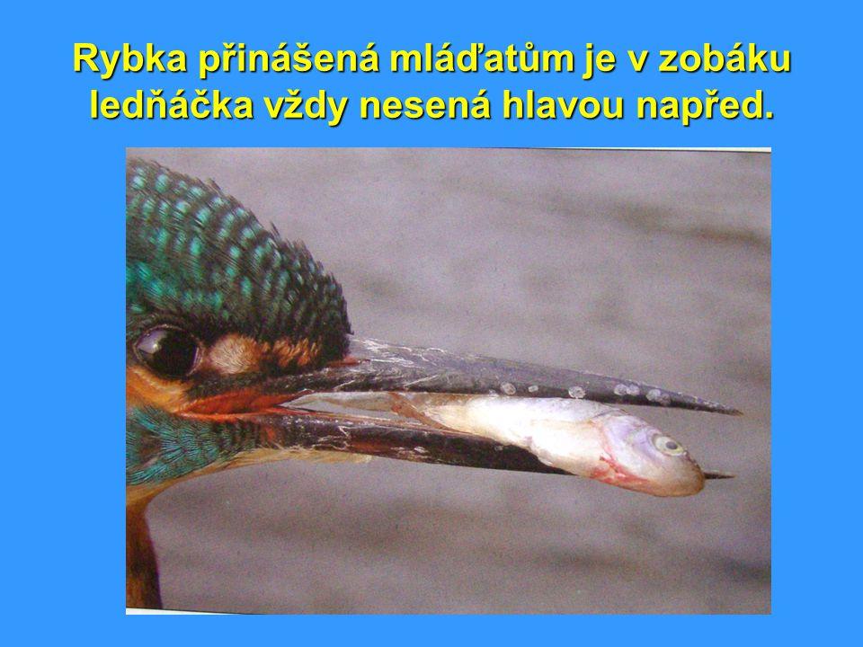 Rybka přinášená mláďatům je v zobáku ledňáčka vždy nesená hlavou napřed.