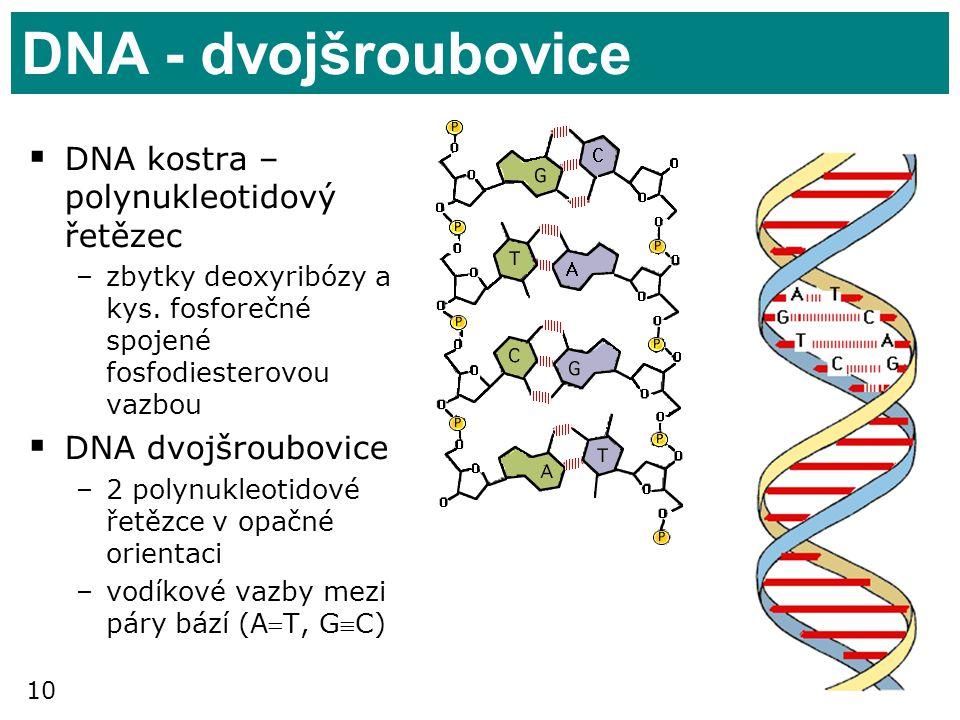 10 DNA - dvojšroubovice  DNA kostra – polynukleotidový řetězec –zbytky deoxyribózy a kys. fosforečné spojené fosfodiesterovou vazbou  DNA dvojšroubo
