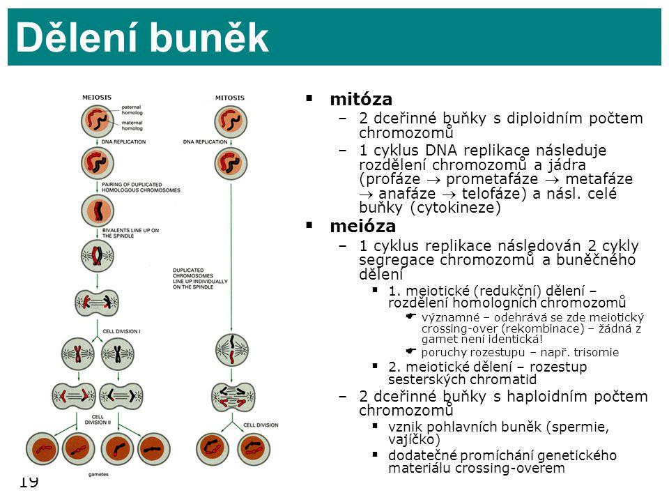 19 Dělení buněk  mitóza –2 dceřinné buňky s diploidním počtem chromozomů –1 cyklus DNA replikace následuje rozdělení chromozomů a jádra (profáze  pr