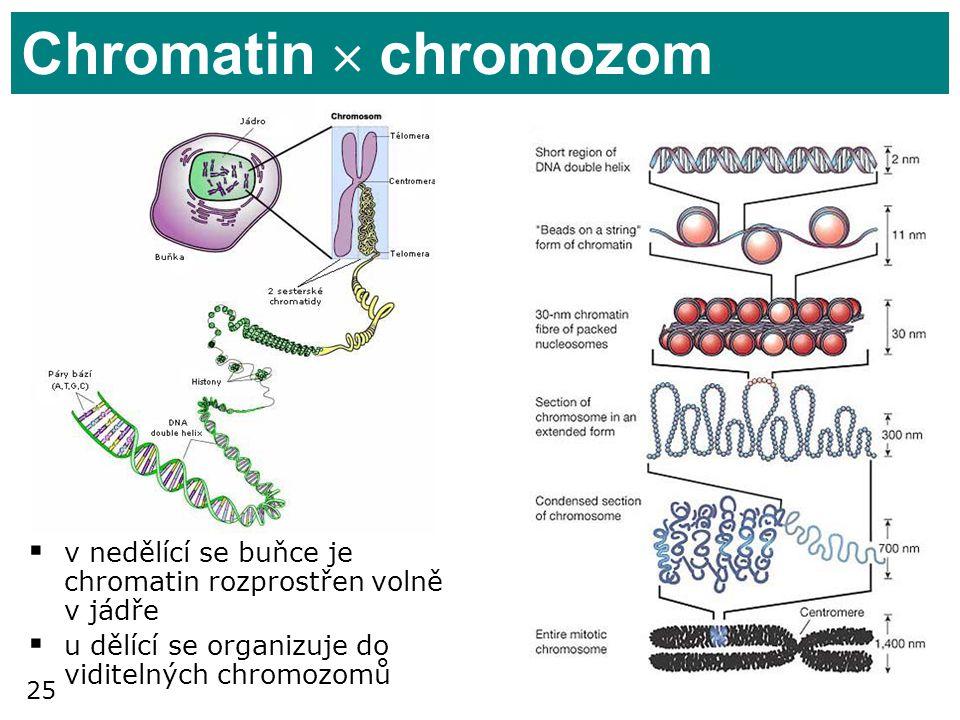 25 Chromatin  chromozom  v nedělící se buňce je chromatin rozprostřen volně v jádře  u dělící se organizuje do viditelných chromozomů