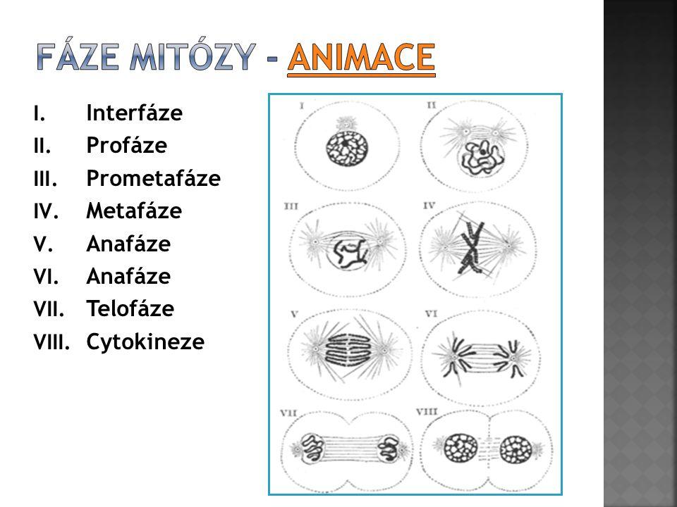 I. Interfáze II. Profáze III. Prometafáze IV. Metafáze V. Anafáze VI. Anafáze VII. Telofáze VIII. Cytokineze