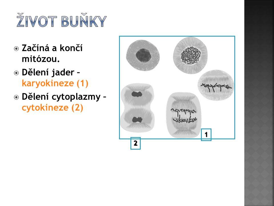  Začíná a končí mitózou.  Dělení jader – karyokineze (1)  Dělení cytoplazmy – cytokineze (2) 1 2