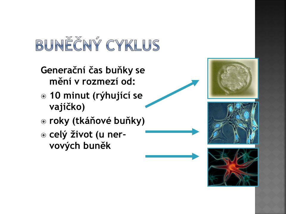 Generační čas buňky se mění v rozmezí od:  10 minut (rýhující se vajíčko)  roky (tkáňové buňky)  celý život (u ner- vových buněk