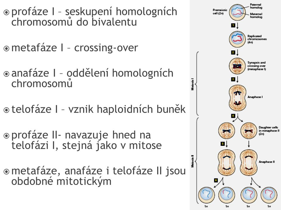  profáze I – seskupení homologních chromosomů do bivalentu  metafáze I – crossing-over  anafáze I – oddělení homologních chromosomů  telofáze I –