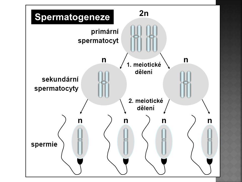 nn 1. meiotické dělení 2. meiotické dělení nn primární spermatocyt sekundární spermatocyty spermie nn 2n Spermatogeneze