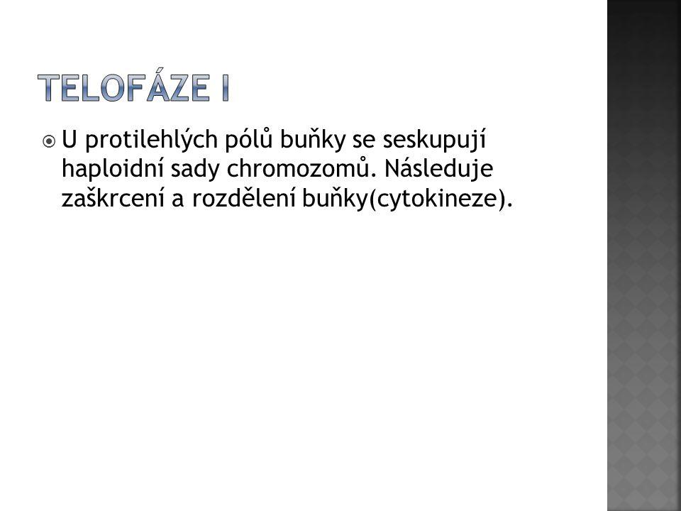  U protilehlých pólů buňky se seskupují haploidní sady chromozomů. Následuje zaškrcení a rozdělení buňky(cytokineze).