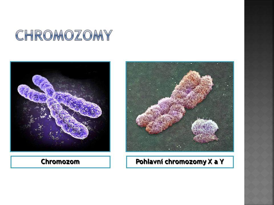 Pohlavní chromozomy X a Y Chromozom