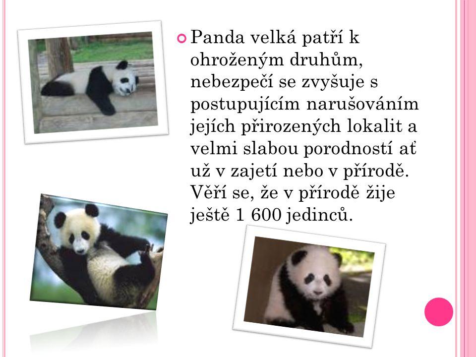 Panda velká žije téměř nepřetržitě uvnitř bambusových houštin.