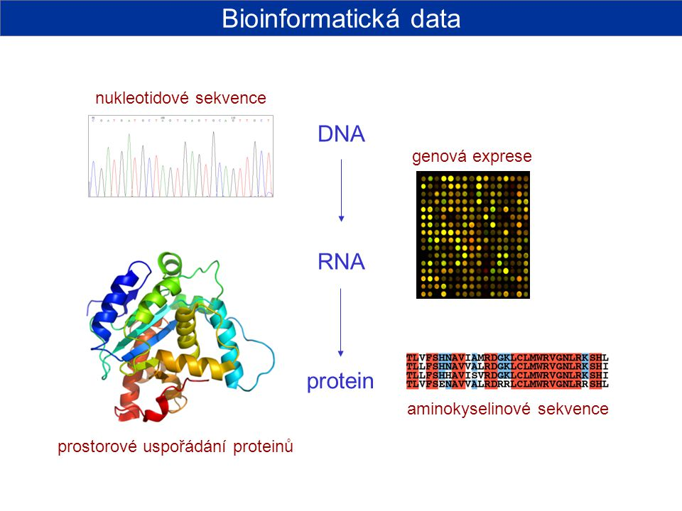 DNA RNA protein Bioinformatická data nukleotidové sekvence genová exprese aminokyselinové sekvence prostorové uspořádání proteinů