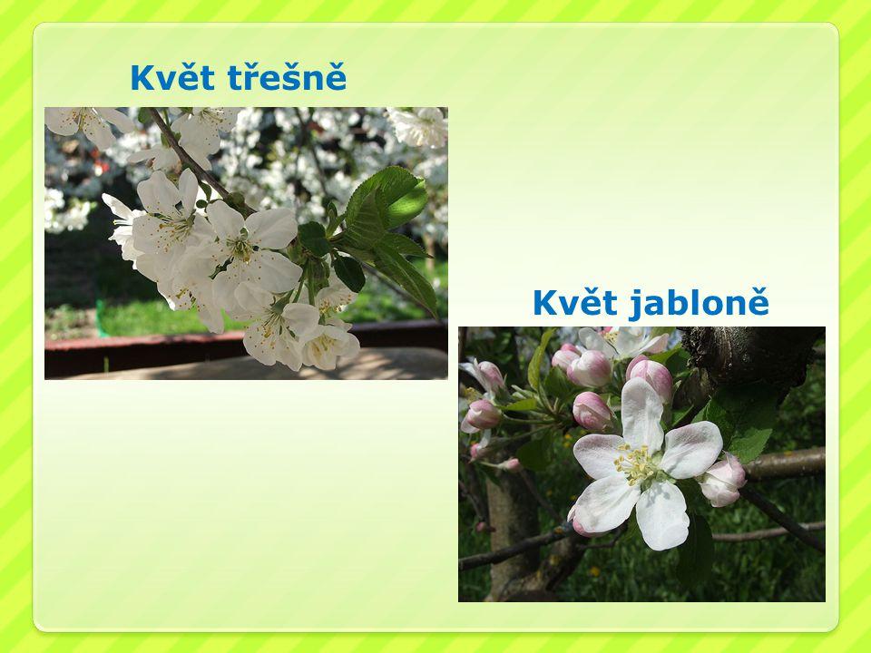 Květ třešně Květ jabloně