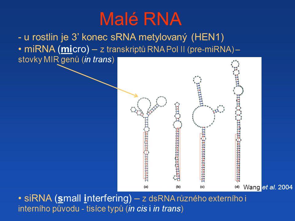 Malé RNA - u rostlin je 3' konec sRNA metylovaný (HEN1) miRNA (micro) – z transkriptů RNA Pol II (pre-miRNA) – stovky MIR genů (in trans) siRNA (small interfering) – z dsRNA různého externího i interního původu - tisíce typů (in cis i in trans) pre-miRNA Wang et al.