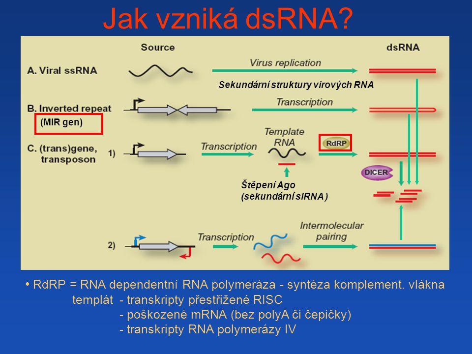 Jak vzniká dsRNA.(MIR gen) . RdRP = RNA dependentní RNA polymeráza - syntéza komplement.