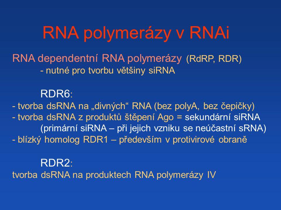 """RNA polymerázy v RNAi RNA dependentní RNA polymerázy (RdRP, RDR) - nutné pro tvorbu většiny siRNA RDR6 : - tvorba dsRNA na """"divných RNA (bez polyA, bez čepičky) - tvorba dsRNA z produktů štěpení Ago = sekundární siRNA (primární siRNA – při jejich vzniku se neúčastní sRNA) - blízký homolog RDR1 – především v protivirové obraně RDR2 : tvorba dsRNA na produktech RNA polymerázy IV"""