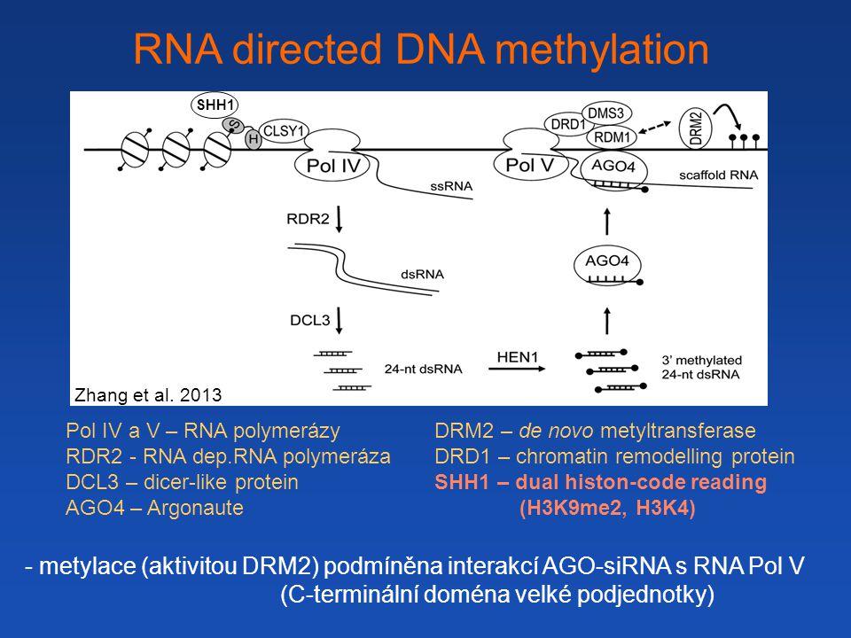 RNA directed DNA methylation - metylace (aktivitou DRM2) podmíněna interakcí AGO-siRNA s RNA Pol V (C-terminální doména velké podjednotky) Pol IV a V – RNA polymerázy RDR2 - RNA dep.RNA polymeráza DCL3 – dicer-like protein AGO4 – Argonaute DRM2 – de novo metyltransferase DRD1 – chromatin remodelling protein SHH1 – dual histon-code reading (H3K9me2, H3K4) SHH1 Zhang et al.