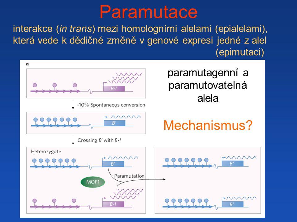 Paramutace interakce (in trans) mezi homologními alelami (epialelami), která vede k dědičné změně v genové expresi jedné z alel (epimutaci) paramutagenní a paramutovatelná alela Mechanismus?